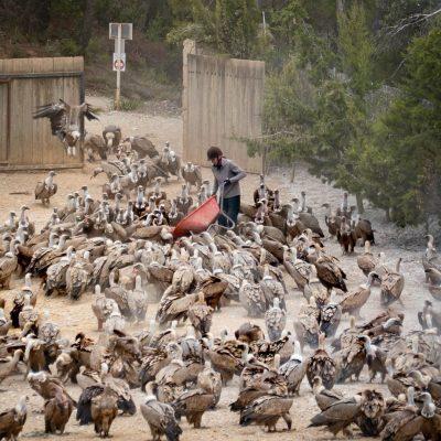 Buitreman, el hombre que alimenta a 300 buitres a la vez
